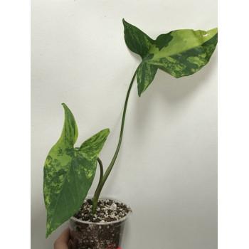 Syngonium variegata internet store