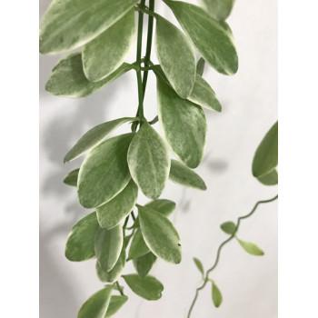 Dischidia oiantha variegata sklep internetowy
