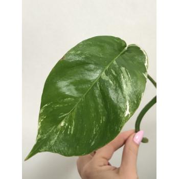 Epipremnum pinnatum variegata sklep internetowy