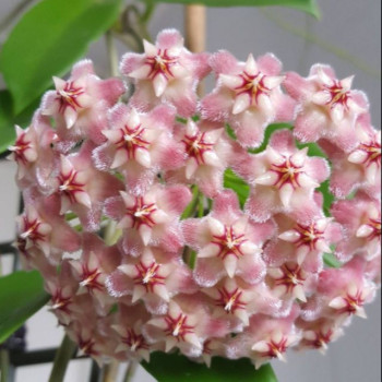 Hoya pubicalyx 'Pink Dragon' internet store