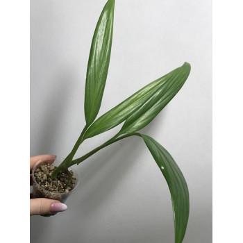 Epipremnum amplissimum ( silver leaves ) internet store