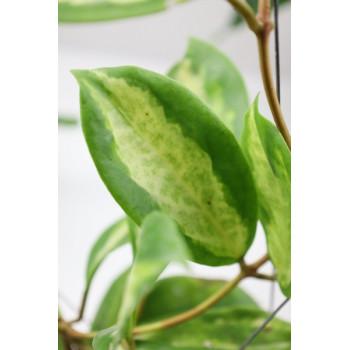 Hoya incrassata variegata Moonshadow internet store