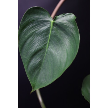 Philodendron cf. malesevichiae internet store
