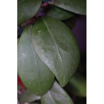 Hoya erythrostemma PINK internet store