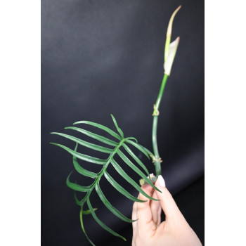 Philodendron tortum internet store