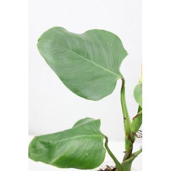 Philodendron cf. ornatum internet store