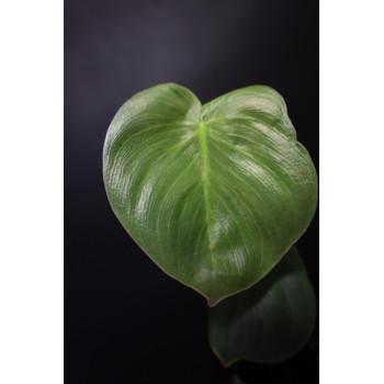 Philodendron werneri mini internet store