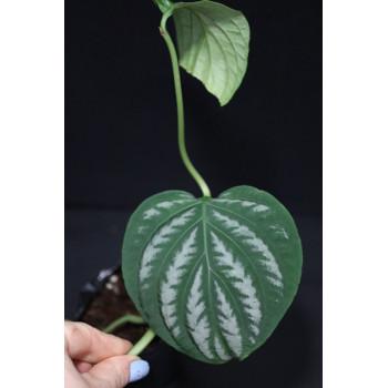 Chamaeranthemum venosum internet store