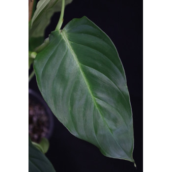 Philodendron Hibrido Angel internet store