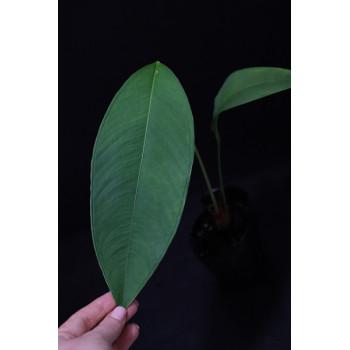 Anthurium microphyllum - RARE internet store