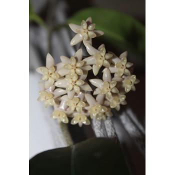 Hoya thuathienhuensis internet store