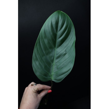 Philodendron asplundii type internet store