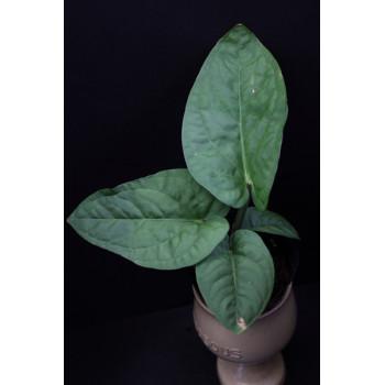Anthurium pulcachense - RARYTAS internet store