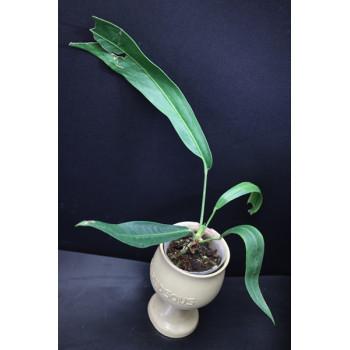 Anthurium pendens Ecuagenera XXL ( pendens type ) internet store