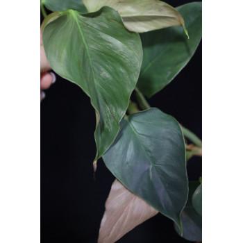 Philodendron werneri 'Rotonda' internet store