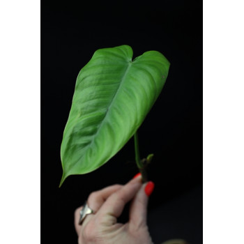 Philodendron tenue long leaves internet store