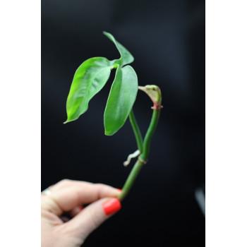 Philodendron barrosoanum internet store