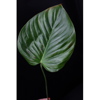 Philodendron grandipes internet store