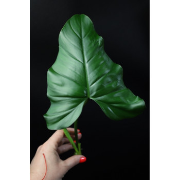 Philodendron sp. internet store