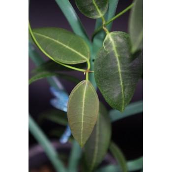 Dischidia lancifolia sklep internetowy