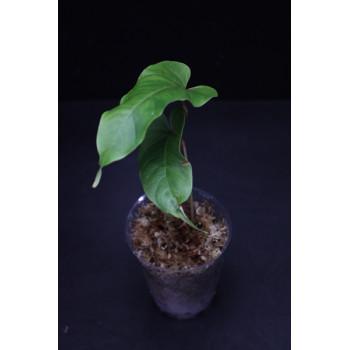 Anthurium flavolineatum internet store