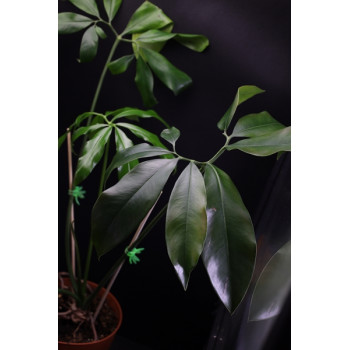 Thaumatophyllum spruceanum (Philodendron goeldii) XL internet store
