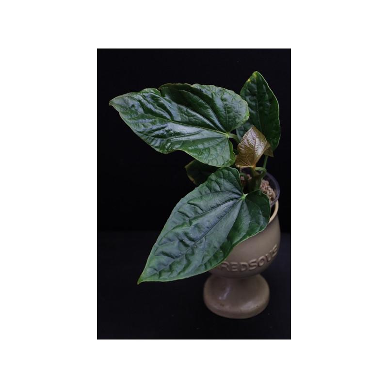 Anthurium debilis - RARE store with hoya flowers