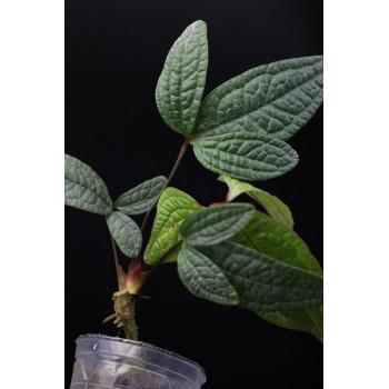 Anthurium arisaemoides internet store