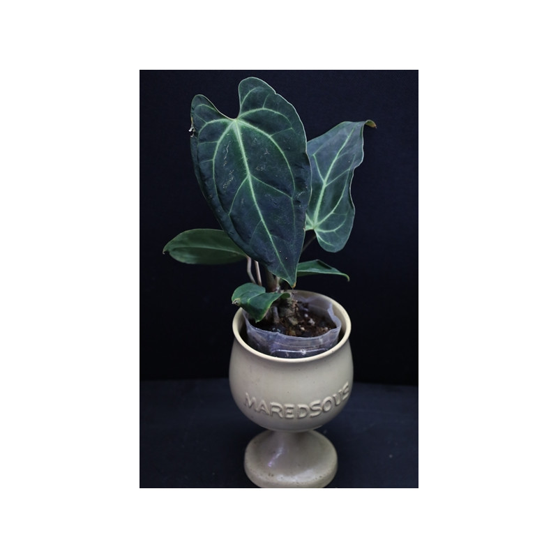 Anthurium besseae - RARE store with hoya flowers