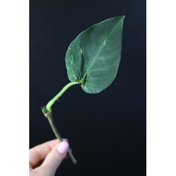 Philodendron cf. nanegalense internet store