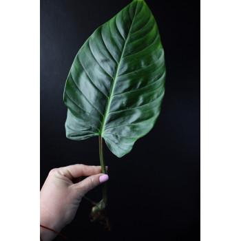 Philodendron roseospathum internet store