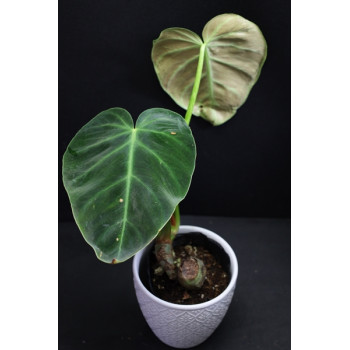 copy of Philodendron luxurians internet store