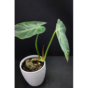 copy of Philodendron luxurians store with hoya flowers