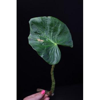 Philodendron fibrosum internet store