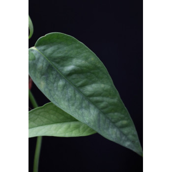 Epipremnum pinnatum 'Cebu Blue' sklep internetowy