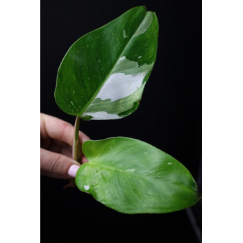 Philodendron White Princess internet store