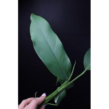 Epipremnum giganteum - RARE ! store with hoya flowers