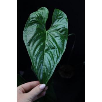 Anthurium nigrolaminum XXL  - RARE ! internet store