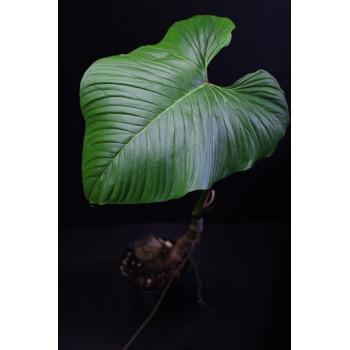 Philodendron verrucapetiolum internet store