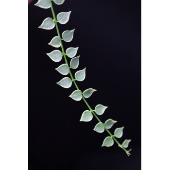 Dischidia ruscifolia albomarginata internet store