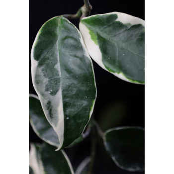 Hoya carnosa round leaves variegated ( blue stain ) internet store