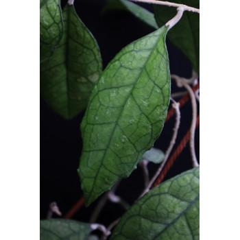 Hoya finlaysonii big leaves internet store