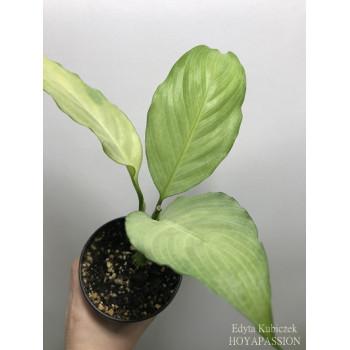 Spathiphyllum blandum Spilt Milk internet store