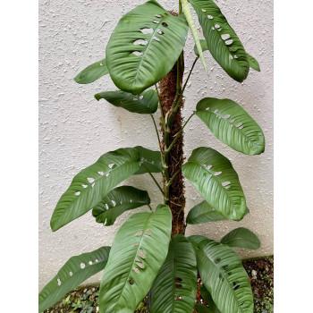 Rhaphidophora foraminifera - RARYTAS ! internet store