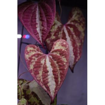 Dioscorea discolor store with hoya flowers
