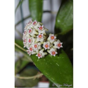 Hoya parasitica 'North Habli' internet store