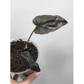 Syngonium erythrophyllum internet store